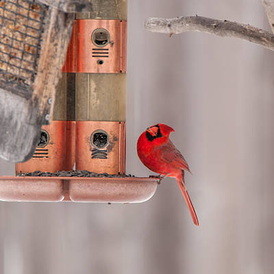 Photograph - Cardinal Feeding by Guy Whiteley