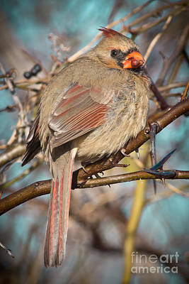 Cardinal Female Art Print by Robert Frederick