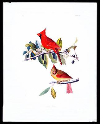 Ornithological Painting - Cardinal Grosbeak by Celestial Images