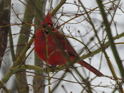Photograph - Cardinal  Hide And Seek by Linda L Martin