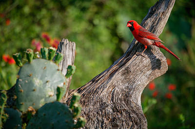 Photograph - Cardinal II by Randy Green