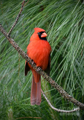 Photograph - Cardinal In A Pine Tree by Kathy Baccari