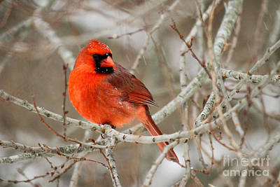 Photograph - Cardinal In A Snowstorm II by Butch Lombardi