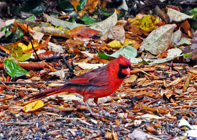 Cardinal In Autumn Print by Lydia Holly