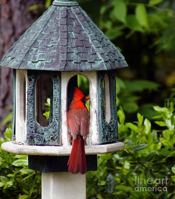 Cardinal In Bird Feeder Art Print by Debra Crank