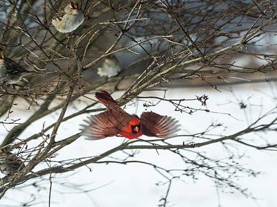 Cardinal Photograph - Cardinal In Flight by Jan M Holden