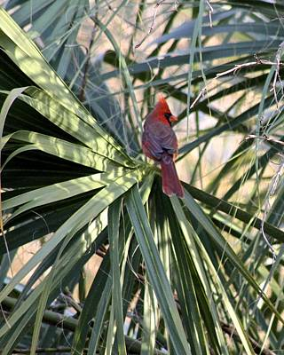 Photograph - Cardinal In Palmetto Tree by Jeanne Kay Juhos