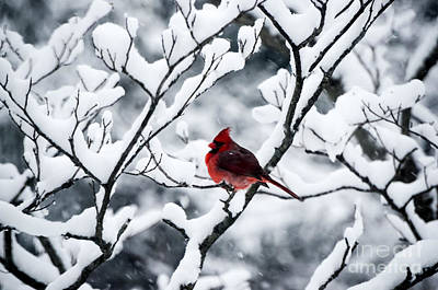 Photograph - Cardinal In Snow Covered Tree by Mary Carol Story