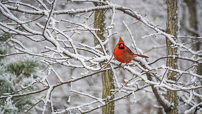 Cardinal In Snow Art Print