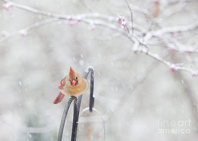 Cardinal In Snow Art Print by Kay Pickens