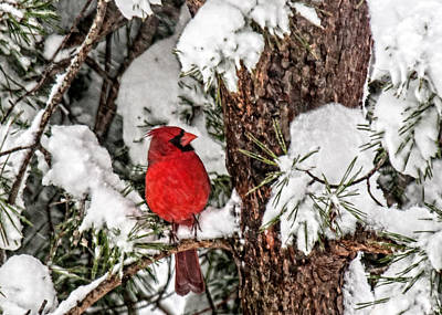 Photograph - Cardinal In Snow  by Lara Ellis