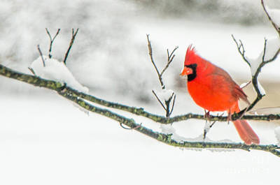 Photograph - Cardinal In Snow by Mary Carol Story
