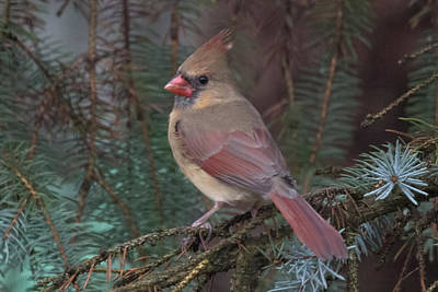 Cardinal In Spruce Art Print by John Kunze