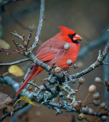 Photograph - Cardinal In The Berries by Kerri Farley