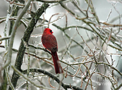 Photograph - Cardinal In The Crystal Palace by Butch Lombardi