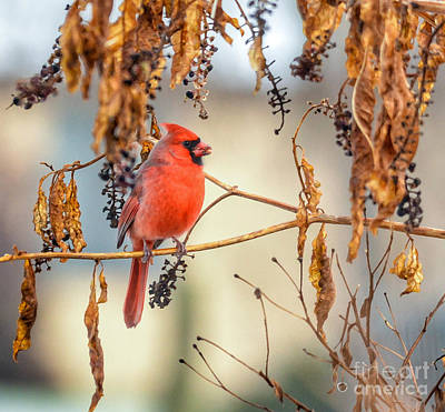 Photograph - Cardinal In The Pokeberries by Kerri Farley