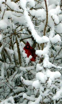 Photograph - Cardinal In The Snow by Cathy Shiflett