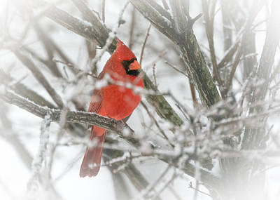 World War 2 Action Photography Royalty Free Images - Cardinal in the Snow Royalty-Free Image by Holden The Moment