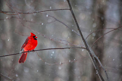 Photograph - Cardinal In The Snow by Karol Livote