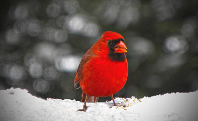 Cardinals. Wildlife. Nature Photograph - Cardinal In The Snow by Sandi OReilly