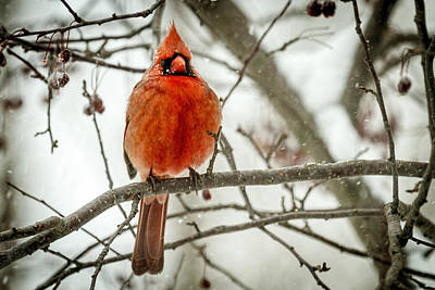 Photograph - Cardinal In The Snow by Scott Bean