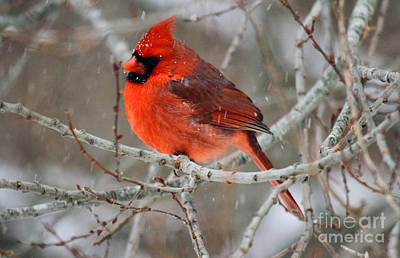 Photograph - Cardinal In The Snowstorm by Butch Lombardi