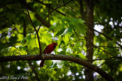 Cardinal In The Trees Art Print