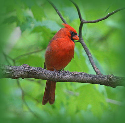 Photograph - Cardinal In Tree by Sandy Keeton