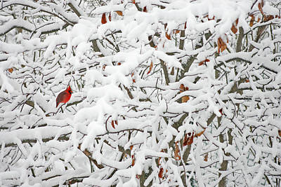 Sturgeon Photograph - Cardinal In White by Ty Helbach