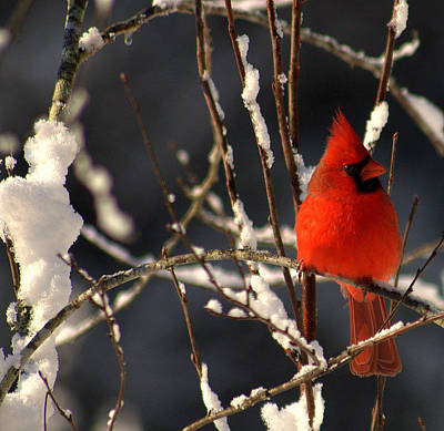 Art Print featuring the photograph Cardinal In Winter 2 by John Harding