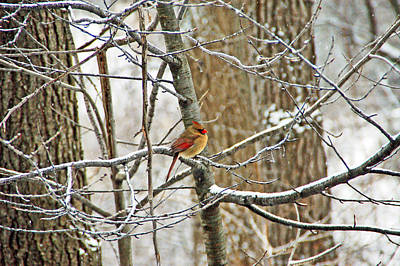 Photograph - Cardinal In Winter by Aimee L Maher ALM GALLERY