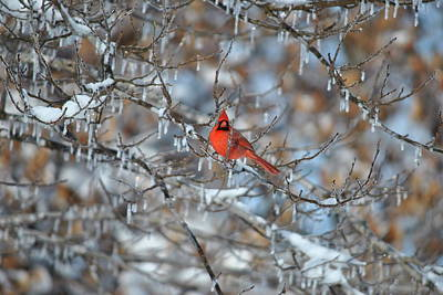 Photograph - Cardinal In Winter by Cim Paddock