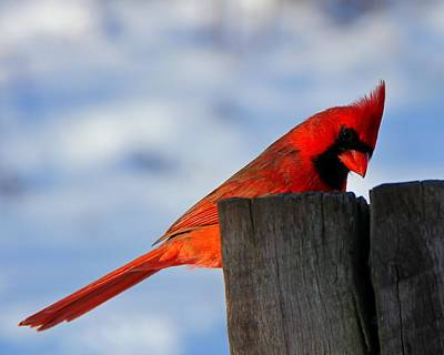 Photograph - Cardinal In Winter by Davandra Cribbie