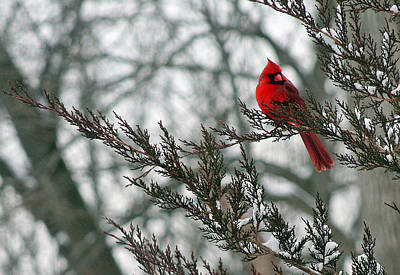 Photograph - Cardinal In Winter by Karen Adams
