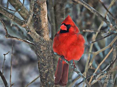 Photograph - Cardinal In Winter by Marcia Lee Jones