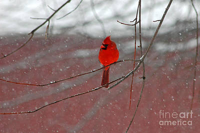 Art Print featuring the photograph Cardinal In Winter by Olivia Hardwicke