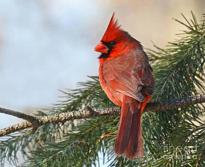 Photograph - Cardinal In Winter by Rodney Campbell