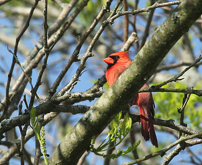 Photograph - Cardinal  by James Hammen