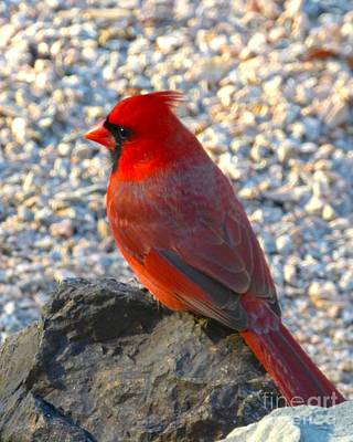 Photograph - Cardinal by Jean Wright
