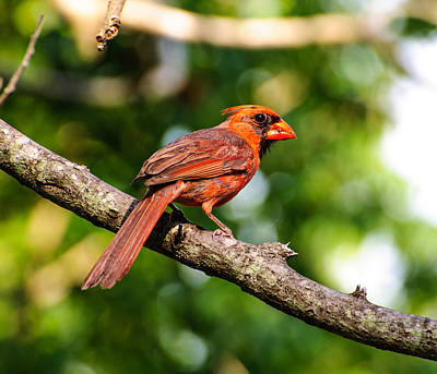 Photograph - Cardinal by John Johnson