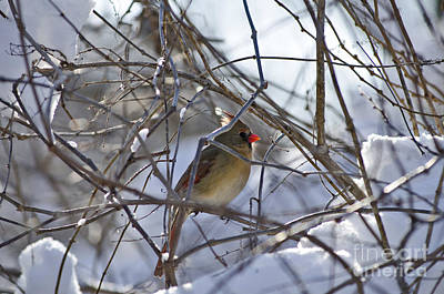 Photograph - Cardinal by JT Lewis