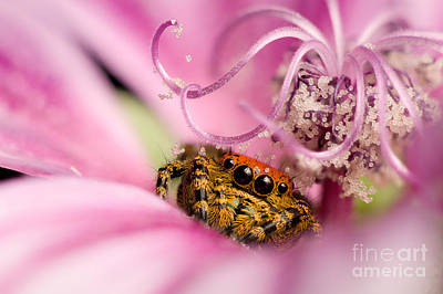 Photograph - Cardinal Jumping Spider In Flower by Scott Linstead