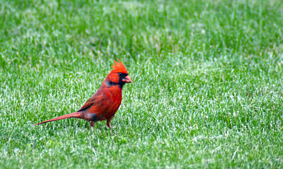 Photograph - Cardinal Ll by Bj Hodges