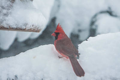 Photograph - Cardinal Looking For Dinner by Jeff Folger