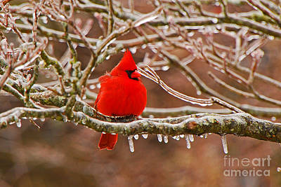 Photograph - Cardinal by Mary Carol Story