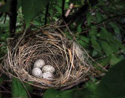Photograph - Cardinal Nest With Eggs by Don Wolf