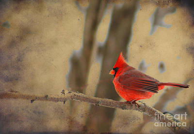 Photograph - Cardinal On A Branch by Alyce Taylor