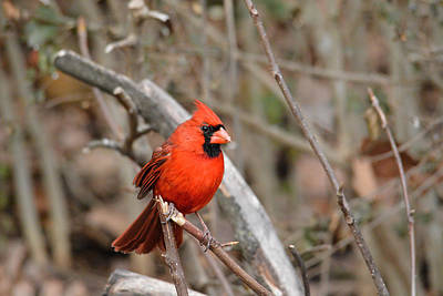 Photograph - Cardinal On A Broken Branch by Jai Johnson