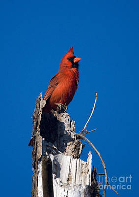 Cardinal On Honeymoon Island Art Print