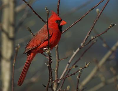 Digital Art - Cardinal On Magnolia by Angel Cher